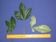 Parmentiera macrophylla Leaf