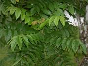 Spathodea campanulata Leaf