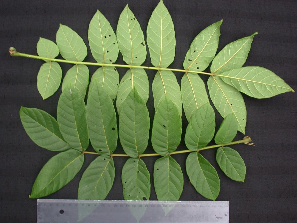 الاسباثوديا (اشجار افريقيا الاستوائيه)