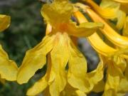 Tabebuia guayacan Flower