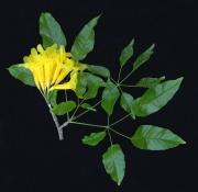 Tabebuia guayacan Flower Leaf