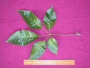 Tabebuia guayacan Leaf