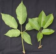 Tabebuia rosea Leaf
