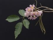 Tabebuia rosea Flower Fruit Leaf