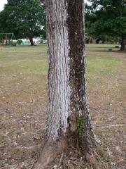 Tabebuia rosea Trunk