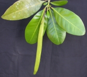 Tabebuia striata Fruit Leaf