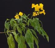 Tecoma stans Flower Leaf
