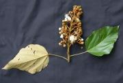 Bixa orellana Flower Leaf