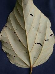 Bixa orellana Leaf