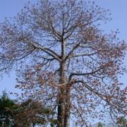 Cavanillesia platanifolia Flower