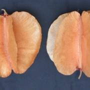 Cavanillesia platanifolia Fruit