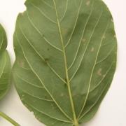 Cavanillesia platanifolia Leaf