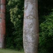Cavanillesia platanifolia Trunk