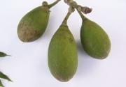 Ceiba pentandra Fruit