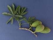 Ceiba pentandra Fruit Leaf