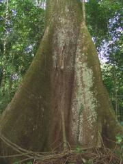 Ceiba pentandra Trunk