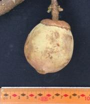 Matisia cordata Fruit