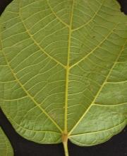 Matisia cordata Leaf