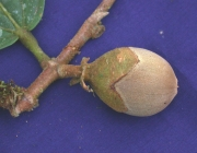 Matisia exalata Fruit