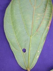 Matisia exalata Leaf
