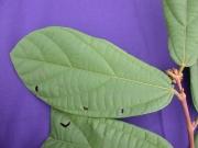 Matisia jefensis Leaf