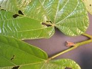Matisia obliquifolia Leaf
