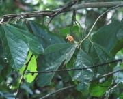 Matisia ochrocalyx Flower Leaf