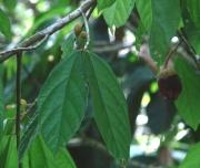 Matisia ochrocalyx Fruit Leaf