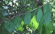 Matisia ochrocalyx Leaf