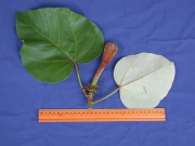 Ochroma pyramidale Flower Leaf