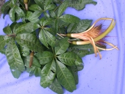 Pachira aquatica Flower Leaf