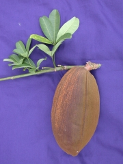 Pachira aquatica Fruit Leaf