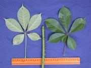 Pachira quinata Leaf