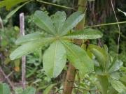 Pachira sessilis Leaf