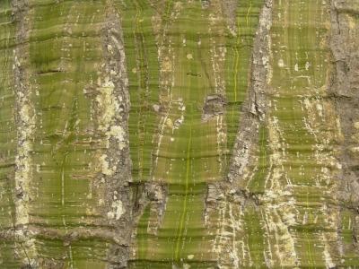 Pseudobombax septenatum Bark