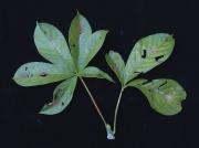Pseudobombax septenatum Leaf