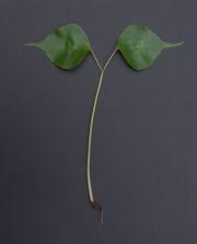 Pseudobombax septenatum