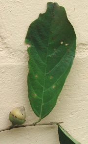 Quararibea asterolepis Fruit Leaf