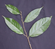 Quararibea asterolepis Leaf