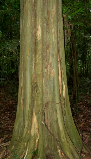 Quararibea asterolepis Trunk