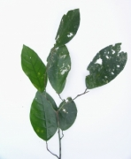 Quararibea pterocalyx Leaf