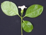 Bourreria costaricensis Flower Leaf