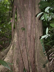 Bourreria costaricensis Trunk