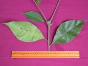 Cordia alliodora Leaf