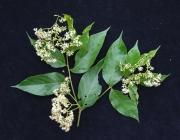 Cordia bicolor Flower Leaf