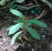 Cordia bicolor