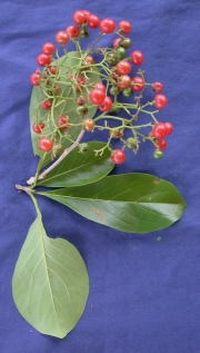 Cordia collococca Fruit Leaf
