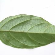 Cordia correae Leaf