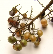 Cordia cymosa Fruit