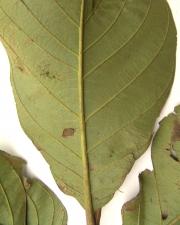 Cordia cymosa Leaf